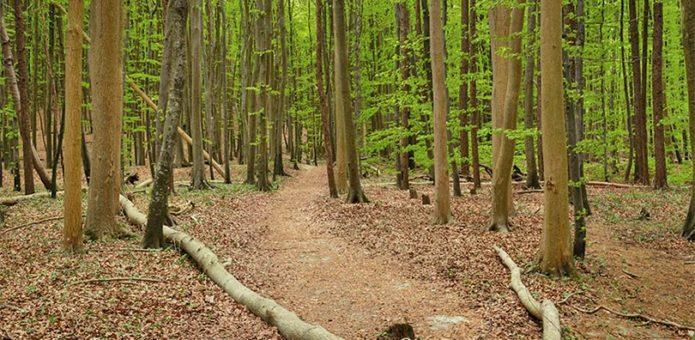 Buchenwald in der Stubnitz
