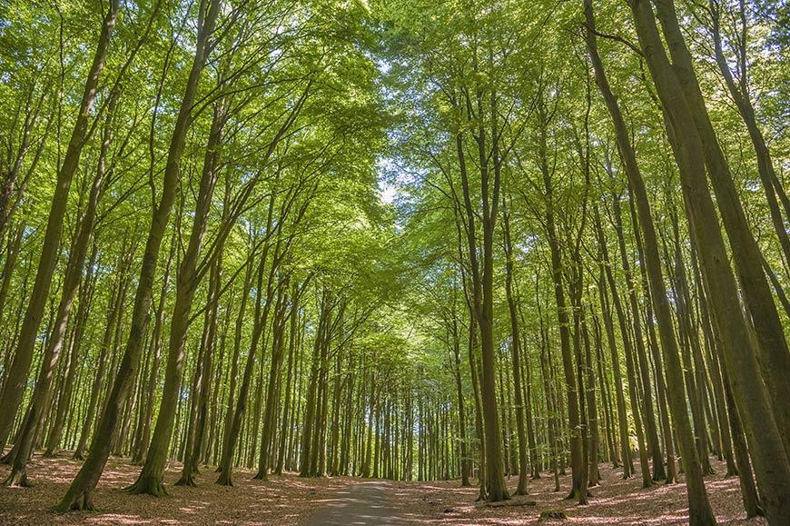 Buchenwald auf der Halbinsel Jasmund